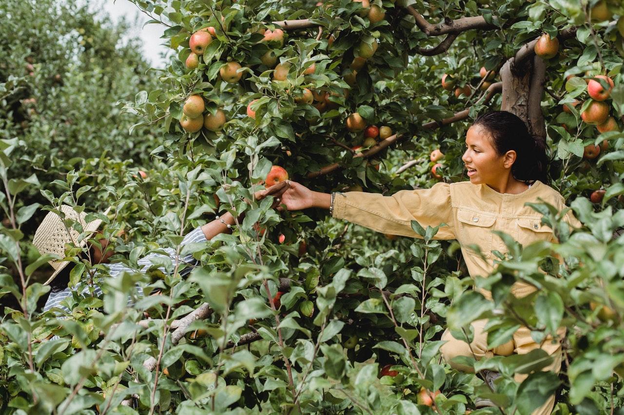 Apple Orchard in Michigan During Fall Season